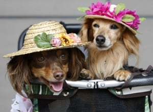 Miniature dachshund crossbreed dogs are seen dressed up with hats at a dog fiesta in Tokyo
